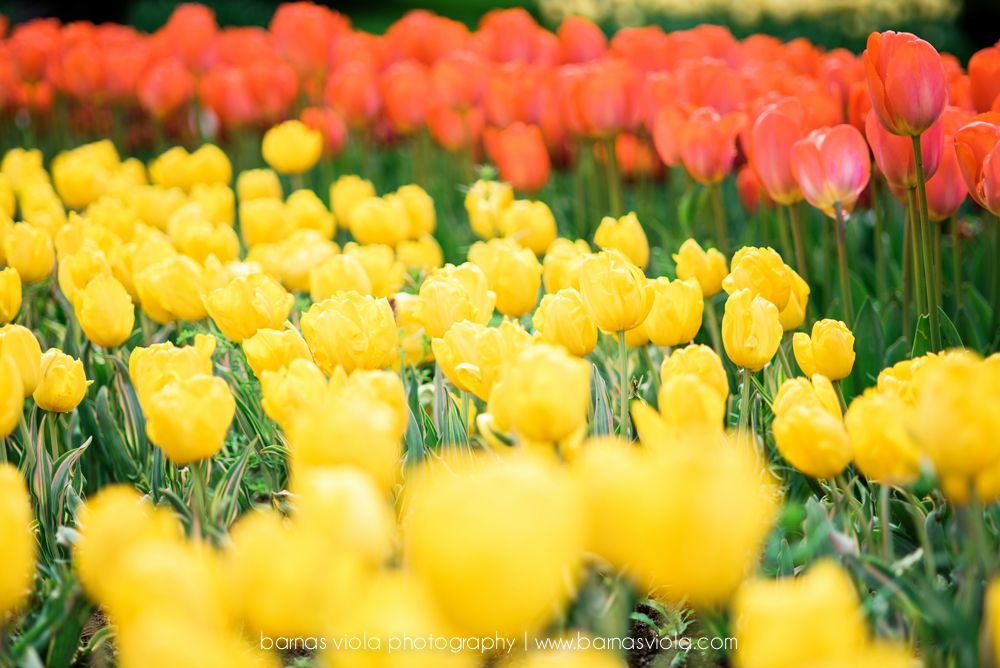 tulip switzerland vacation photographer